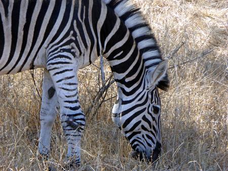 kruger national park: Wild Zebra feeding at Kruger National Park, South Africa Stock Photo