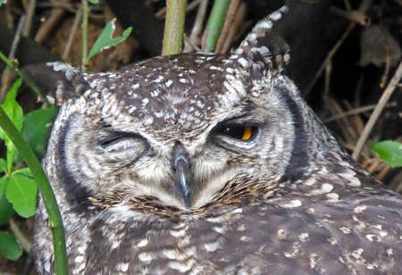 capetown: Owl in Kirstenbosch National Botanic Gardens in Capetown, South Africa Stock Photo