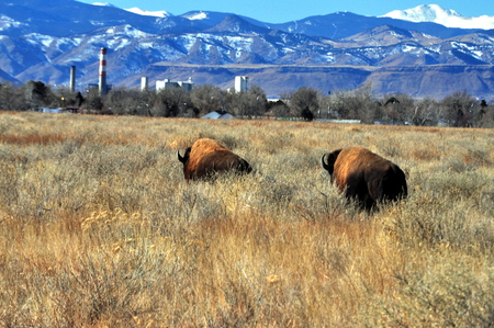 arsenał: Bison running at the Rocky Mountain Arsenal