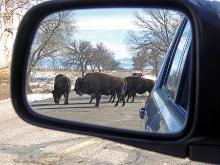 arsenal: rear view mirror siting of bison at the Rocky Mountain Arsenal