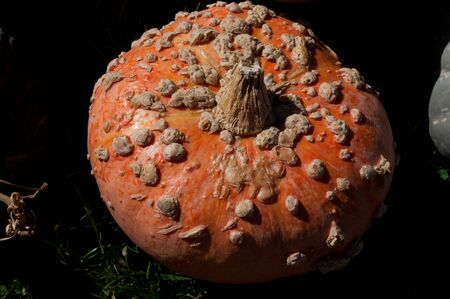Pumpkin with growths Stock Photo