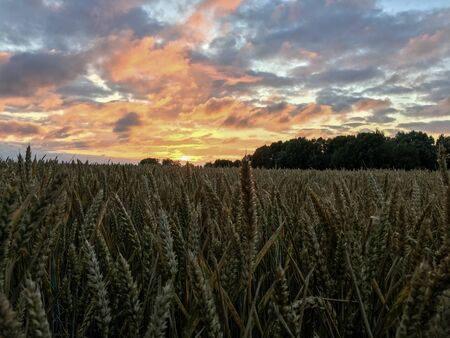 Wheat Field with Wheat Heads close in the foreground and a beautiful sky with dramatic clouds during Magic Hour in East Frisia, North Germany.