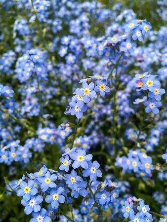 Forget-me-not (Myosotis Sylvatica) Flowers blossoming in a whole field - selective focus. Nature / Blooming Flower Background.