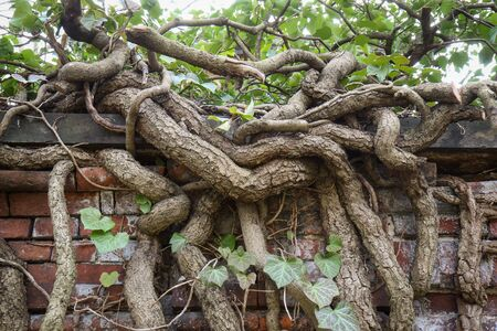 Old gnarly Ivy Vine creeping up an ancient and weathered Cemetery brick wall in Berlin. Thick dry branches. Stok Fotoğraf