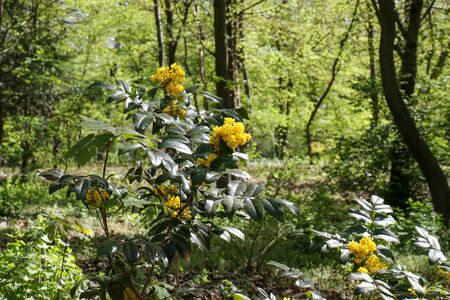 Yellow blooming Mahonia aquifolium, the Oregon grape, on a sunny spring day in a park in Berlin. It's an evergreen shrub, in the family Berberidaceae. Stok Fotoğraf