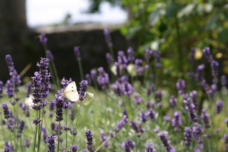 Butterflies live Lavender Stock Photo - 12387841