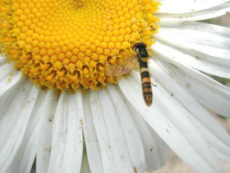 The Bee Stock Photo - 453856