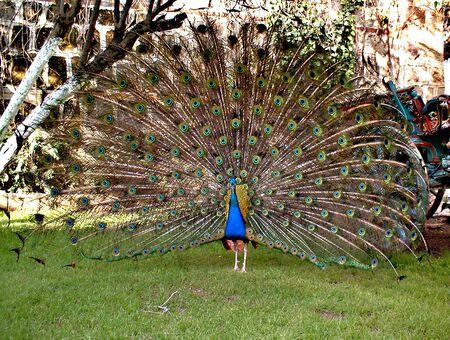 Peacock in Antalya Stock fotó