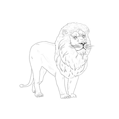 watchful: lion. African lion on white background. Hand Drawn. Realistic Illustration
