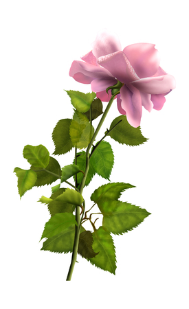 Rose. Rose flower. Pink rose isolated on white background. Realistic Painting. Hand Drawn.