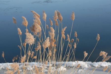 reeds by the winter river