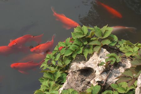 golden fish in pond
