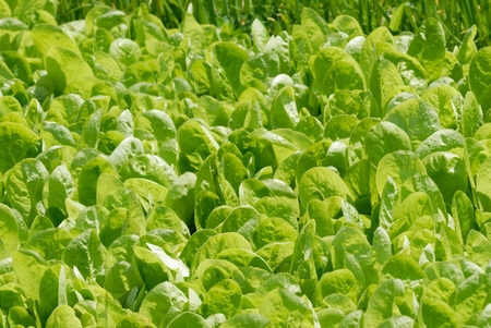 spinach field