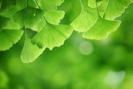 ginkgo leaf: Ginkgo biloba leaves,Closeup.
