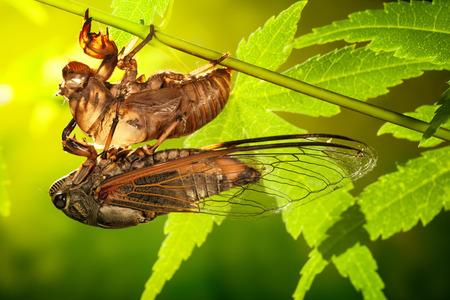 molting: Cicada metamorphosis (Latin Cicadidae)