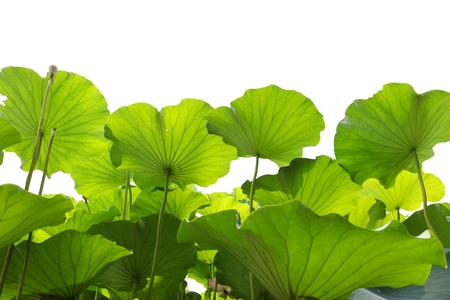 Bright green lotus leaf background