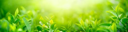 Verse theepot en bladeren.Tea plantages.