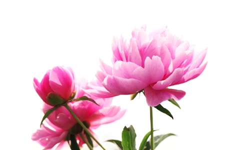 Peonies isolated on white background