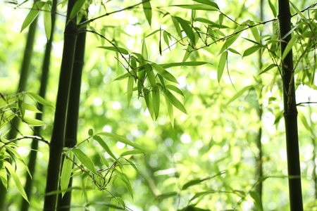 Bright green bamboo forest