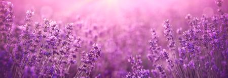 violet lavender field at sunset Stockfoto