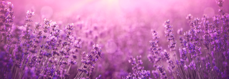 violet lavender field at sunset 版權商用圖片