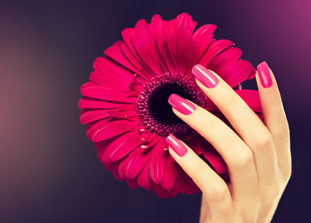 pink nails: Elegant female hands with pink manicure on the nails . Beautiful fingers holding a flower of gerbera . Stock Photo