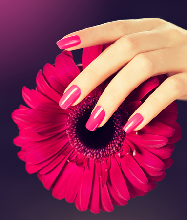 Elegant female hands with pink manicure on the nails. Beautiful fingers holding a flower of gerbera.