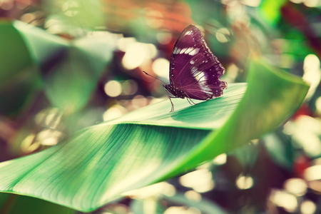 Tropical butterfly is sitting on a big green exotic leaf. Macro photography. Still life.