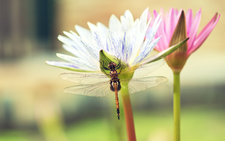 Tropical dragonfly is sitting on a white flower of lotus (water lily). Macro photography. Still life.