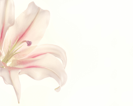 Fresh petals of white and pink lily flower. The symbol of innocence, purity and cleanliness. Banco de Imagens