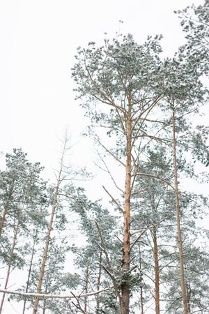 pine winter forest with trees covered snow. Winter forest background.