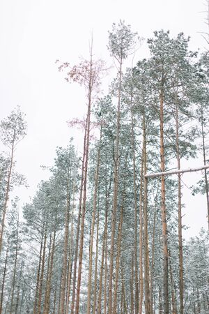 winter forest with trees covered snow