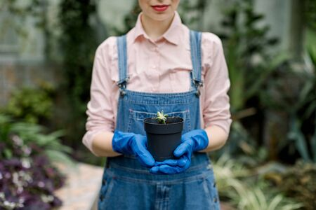 Greenhouse and gardening concept. Cropped image of pretty female gardener wearing jeans overalls and blue gloves, holding black pot with small plant succulent in hands ready for transplanting.