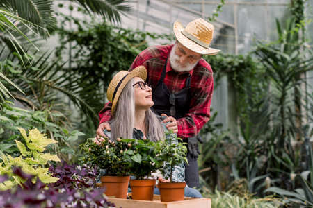 Horticulture and gardening concept. Portrait of good-looking elderly couple of gardeners in love, spending joint time in orangery, working with flowerpots and looking each other Stock Photo
