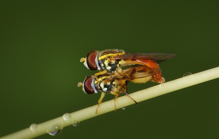 Macro image of insect mating