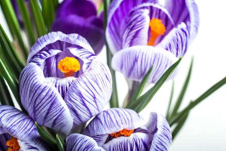 Purple crocus saffron flowers on white background. Macro.