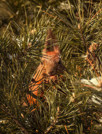 Red squirrel on the pine