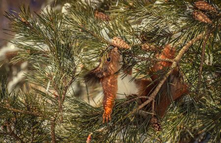 Red squirrel on the pine.