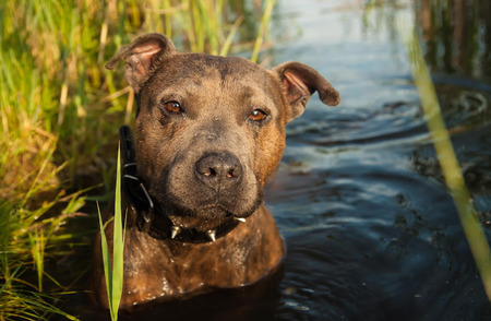 Staffordshire Terrier hunting in the water