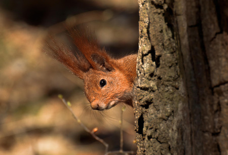 The red squirrel near tree in the forest