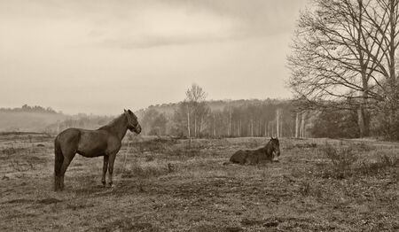 two horses, mare and lieing foal on the meadow