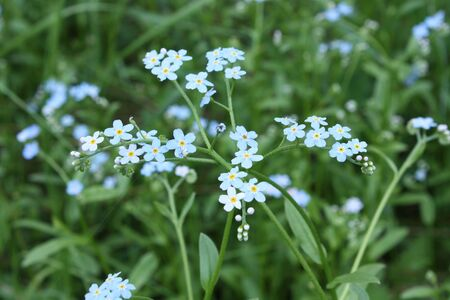 The forget-me-nots and grass