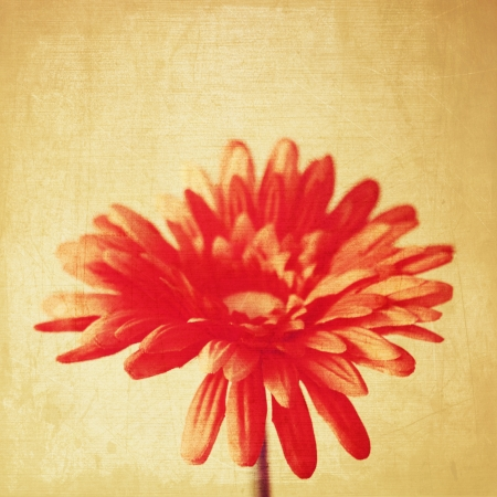 art floral vintage background with red gerbera  in sepia Stock Photo - 21169789