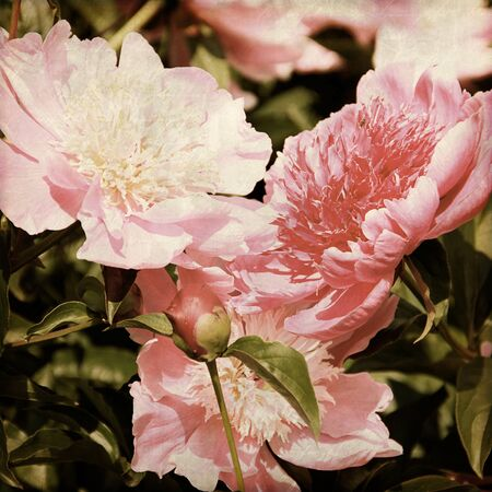 art floral vintage background with pink peonies Stock Photo - 21169811