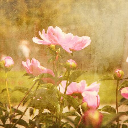 art floral vintage background with pink peonies Stock Photo - 21169820