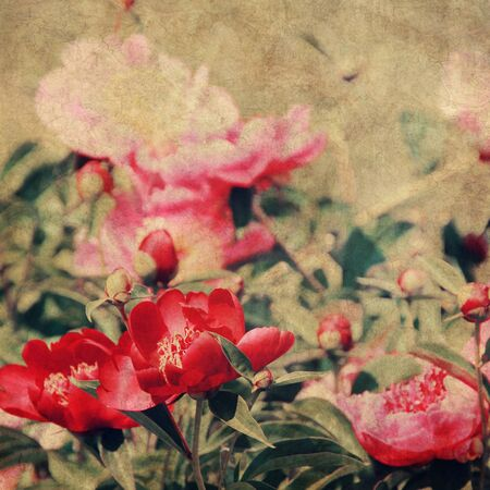 art floral vintage background with pink and red peonies photo