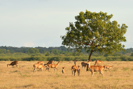 Group of deer on sunset in the Baluran National Park located in East Java, Indonesia. Standard-Bild
