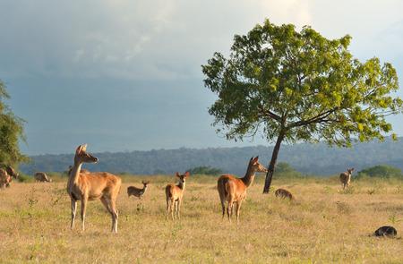 동부 자바, 인도네시아에있는 Baluran 국립 공원에서 석양에 사슴의 그룹