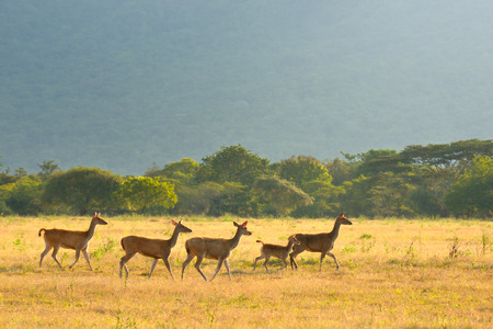 Group of young deer running in the background of green savannah at sunset