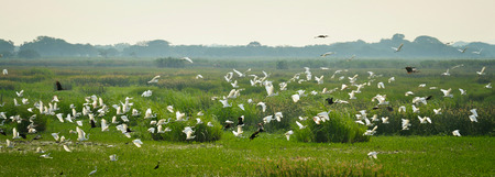 Panoramic view of the shroud with a flying flock of herons in central Mexico. Banque d'images - 99802279